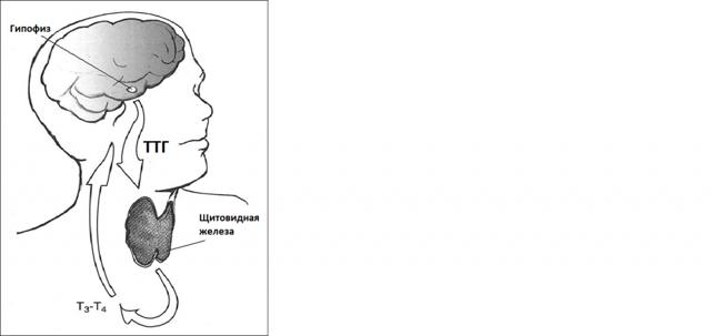 Значение анализа на гормоны щитовидной железы