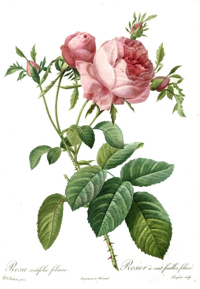 Мифы и факты о роже
