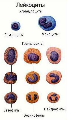Лейкоциты: их роль и значение  в диагностике
